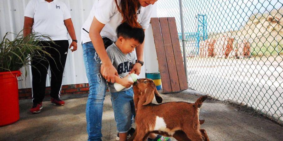 近距離的餵小羊喝牛奶