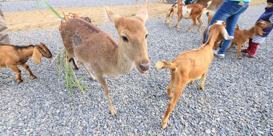 小鹿及小羊很親近人,但也容易受到驚嚇喔